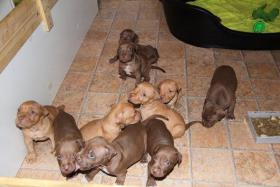 Foto 3 Pit Bull Red Nose Welpen