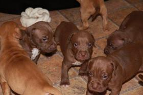 Foto 5 Pit Bull Red Nose Welpen