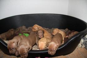 Foto 6 Pit Bull Red Nose Welpen