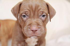 Foto 7 Pit Bull Red Nose Welpen