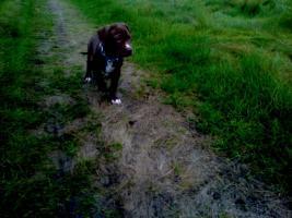 Foto 3 Pitbull red Nose,12 Wochen, Welpe, Hündin