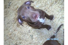 Foto 6 Pitbull red Nose,12 Wochen, Welpe, Hündin