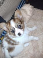 Foto 2 Pomeranian Deckrüde, auch für Chihuahua, Malteser, Minimops, u.a.
