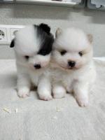 Foto 3 Pomeranian Hündinwelpe creme, 06331-258619