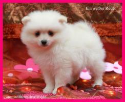 Foto 5 Pomeranian Hündinwelpe creme, 06331-258619