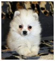 Foto 6 Pomeranian Hündinwelpe creme, 06331-258619