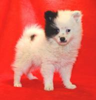 Foto 4 Pomeranian Rüdenwelpe creme