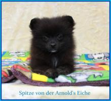 Foto 8 Pomeranian Rüdenwelpe creme