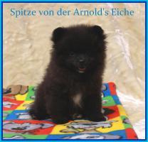 Foto 9 Pomeranian Rüdenwelpe creme