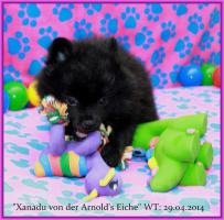 Foto 10 Pomeranian Rüdenwelpe creme