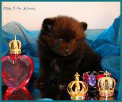 Foto 12 Pomeranian Rüdenwelpe creme