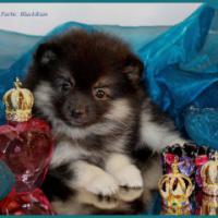 Foto 13 Pomeranian Rüdenwelpe creme
