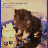Foto 14 Pomeranian Rüdenwelpe creme