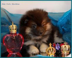 Foto 15 Pomeranian Rüdenwelpe creme