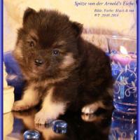 Foto 16 Pomeranian Rüdenwelpe creme