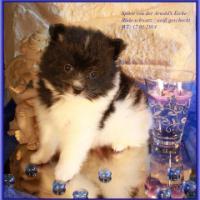 Foto 18 Pomeranian Rüdenwelpe creme