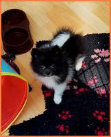Foto 19 Pomeranian Rüdenwelpe creme