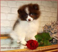 Foto 21 Pomeranian Rüdenwelpe creme