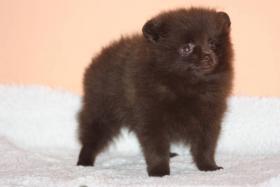 Foto 3 Pomeranian / Zwergspitz mit Papiere