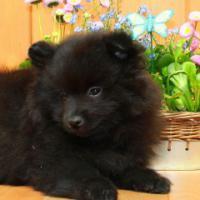 Pomeranianhündinnenwelpen schwarz
