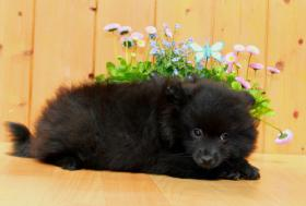 Foto 2 Pomeranianhündinnenwelpen schwarz