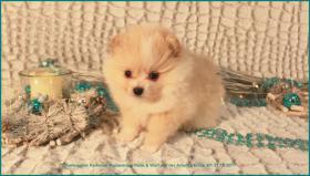 Foto 3 Pomeranianwelpen  bluemerle