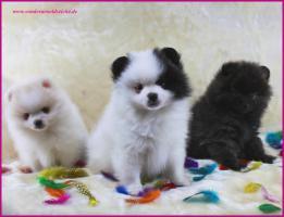 Foto 4 Pomeranianwelpen  bluemerle