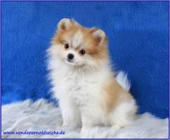 Foto 5 Pomeranianwelpen  bluemerle