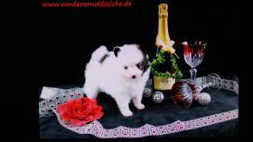 Foto 49 Pomeranianwelpe gescheckt,