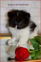 Foto 10 Pomeranianwelpen  bluemerle
