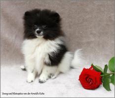 Foto 11 Pomeranianwelpen  bluemerle