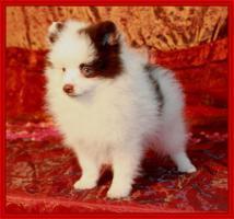 Foto 14 Pomeranianwelpen  bluemerle
