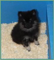 Foto 15 Pomeranianwelpen  bluemerle