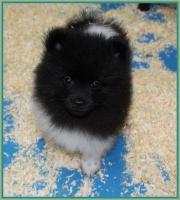 Foto 16 Pomeranianwelpen  bluemerle