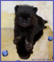 Foto 22 Pomeranianwelpen  bluemerle