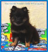 Foto 23 Pomeranianwelpen  bluemerle