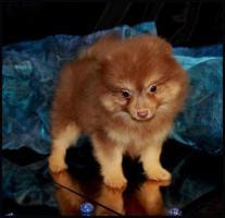 Foto 24 Pomeranianwelpen  bluemerle