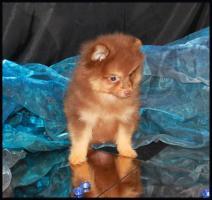 Foto 25 Pomeranianwelpen  bluemerle