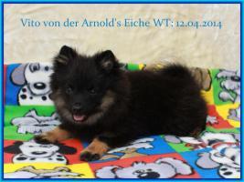 Foto 28 Pomeranianwelpen  bluemerle