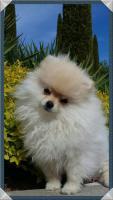 Foto 29 Pomeranianwelpen  bluemerle