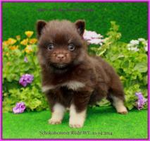 Foto 31 Pomeranianwelpen  bluemerle