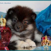 Foto 34 Pomeranianwelpen  bluemerle