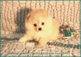 Foto 39 Pomeranianwelpen  bluemerle