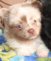 Foto 41 Pomeranianwelpen  bluemerle