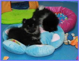 Foto 43 Pomeranianwelpen  bluemerle
