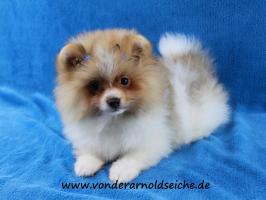 Foto 44 Pomeranianwelpen  bluemerle