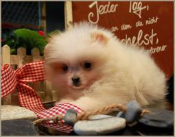 Foto 47 Pomeranianwelpen  bluemerle