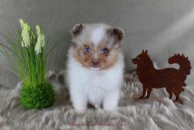 Foto 51 Pomeranianwelpen  bluemerle