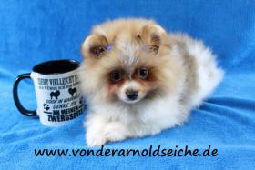 Foto 58 Pomeranianwelpen  bluemerle