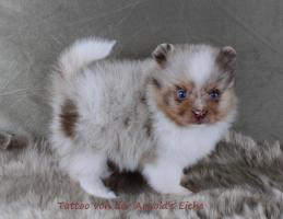 Foto 68 Pomeranianwelpen  bluemerle